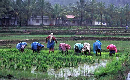 246-women-in-rice-fields.jpg